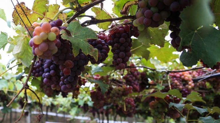 Se consolida 'La Ruta del Vino' como recurso turístico del interior de Castellón